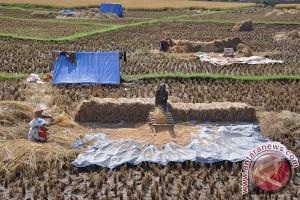 Sumbawa Barat panen padi beras merah organik