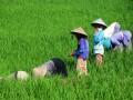 Sejumlah buruh mencabut hama gulma (rumput liar) yang tumbuh di sekitar tanaman padi di Desa Kebasen, Tegal, Jateng, Senin (6/5). Setiap buruh yang bekerja dari pukul 07.00 - 12.00 WIB mendapatkan upah Rp 25 ribu. (FOTO ANTARA/Oky Lukmansyah)