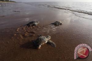 Tiga penyu bertelur di pantai Padang setiap harinya