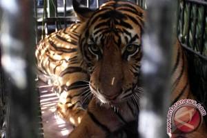 Dua harimau asal Bengkulu butuh rehabilitasi