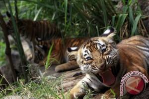 Hanya tersisa 100 harimau di hutan bakau terbesar dunia