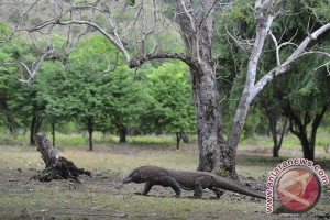 Puluhan rusa di Pulau Komodo diduga dibantai