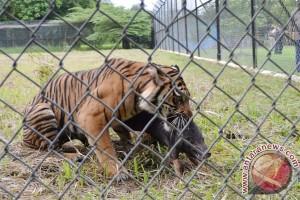 Ratusan pelajar Jambi kampanye perlindungan harimau
