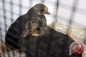 17 burung maleo dilepasliarkanke di SM Bangkiriang