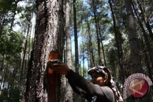 6.000 pohon pinus roboh terkena angin di Banjarnegara
