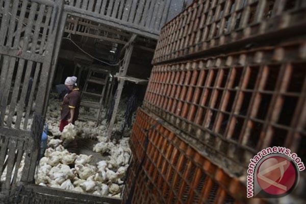 Harga daging ayam di Karawang merangkak naik