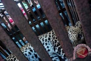 Bangkai macan tutul dibakar agar tidak dicuri