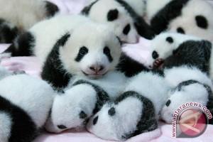 Panda raksasa di Makao lahirkan bayi kembar