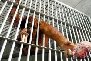 Tiga bayi orangutan direlokasi ke SOCP Sumut