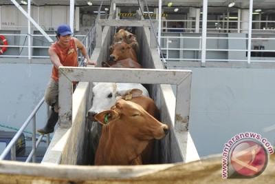 2.350 sapi Australia tiba di Tanjung Priok