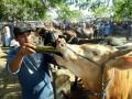 Seorang pekerja memberi makan sapi di Pasar Hewan Bojonegoro, Jatim, Kamis (3/10). Pembelian sapi kurban di pasar hewan setempat terutama pembeli dari luar daerah, mulai Jakarta, Bogor, juga kota lainnya meningkat dengan jumlah rata-rata sekitar 10 truk atau sekitar 90 ekor/pasaran dalam tiga pekan terakhir. (ANTARA FOTO/Aguk Sudarmojo)