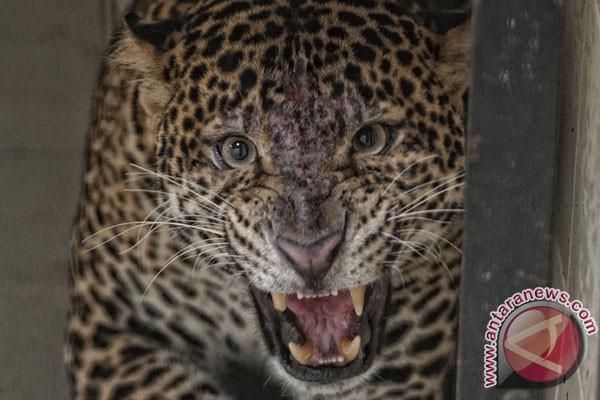 Pantau keberadaan macan tutul, TN Gunung Merapi tambah kamera trap
