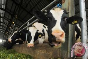 Jerman bantu peternak sapi perah 100 juta euro