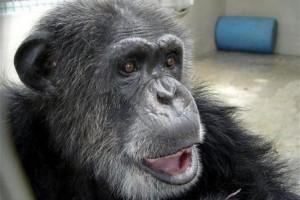Kebun binatang Inggris berupaya pertahankan sisi liar simpanse