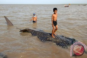 Hiu tutul terjerat jala nelayan Kenjeran Surabaya