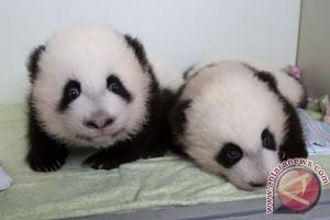 Bayi panda kembar lahir di Makau