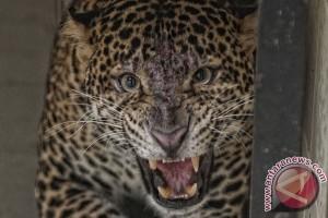 Telah diselamatkan seekor macan tutul jawa