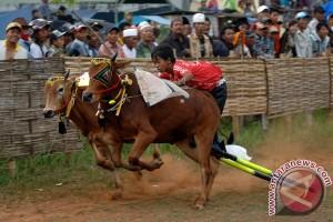 24 pasang sapi berebut Piala Presiden 2015
