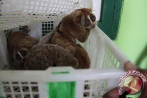 Polisi selidiki dugaan pembantaian primata langka, kukang