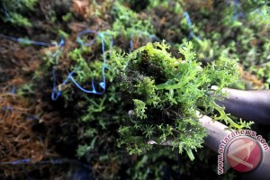 Seaweed major source of Indonesian farmers` income