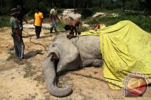 Gajah dengan kalung GPS mati di Riau