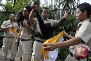 "Upacara ""Tumpek Kandang"" bagi satwa di Bali Zoo"
