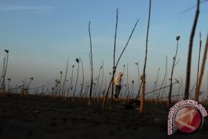 El Nino pembunuh tanaman bakau di Australia Utara