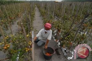 Petani Tomat Kelud Merugi