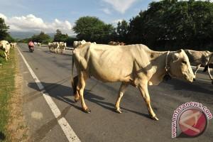 ANTARA Doeloe : Awas penjakit ingus lembu