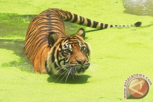 Three Sumatran tigers reported to have attacked villager in Jambi