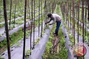 Beralih Tanam Sayuran
