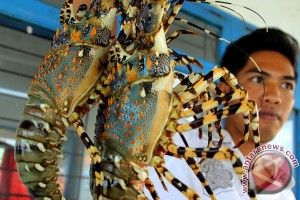 Nelayan Lobster