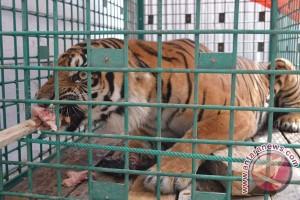 Dua harimau di hutan Mukomuko alami cedera