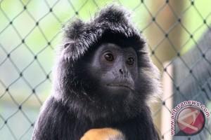 Lutung Jawa langka lahir di Bali Zoo