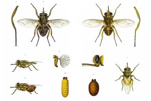 Lalat bisa menebak aroma manis berdasarkan waktu