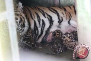 Dua bayi harimau sumatera mati karena sakit