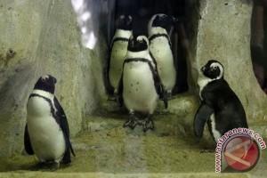 Chile tolak proyek tambang besi untuk lindungi penguin