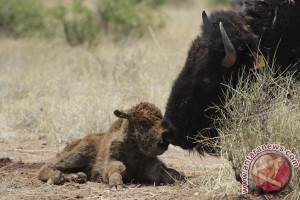 Bison dinobatkan sebagai mamalia nasional AS