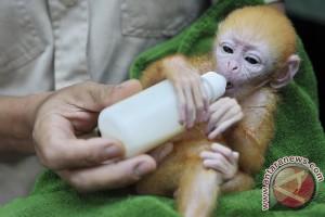 Koleksi lutung jawa Gembira Loka Zoo bertambah