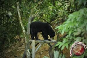 Beruang dibunuh karena masuk ke perkampungan di Riau