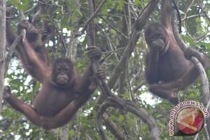 Bridgestone lanjutkan bantuan untuk pelestarian orangutan