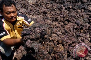 Pengeringan Rumput Laut Gracilaria