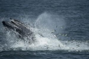 113 ekor hiu paus ditemukan di Papua