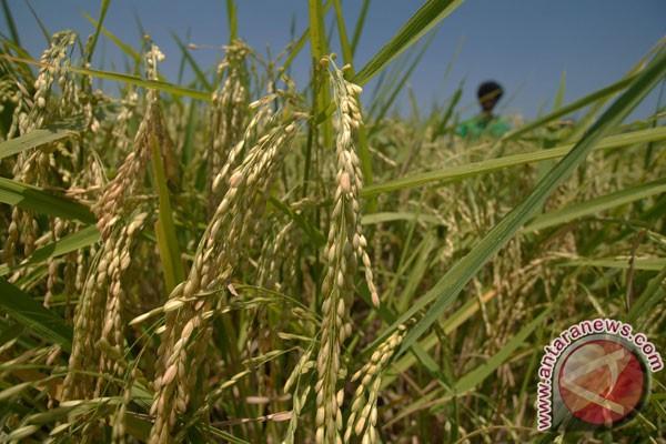 Uji coba produksi padi organik hasilkan 9,7 ton
