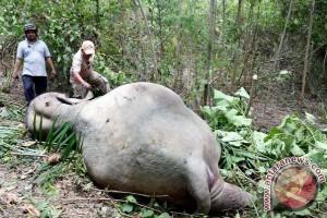 Pemburu bantai enam ekor gajah sumatera