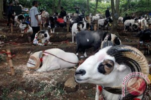 Ada kontes domba digelar di Bogor
