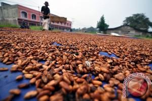 90 persen Kakao Sulbar diserang hama