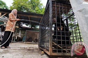 Dua beruang Taman Bukit Tiung Bangko dipindahkan