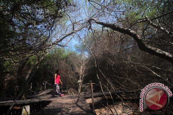 Libur Pilkada Hutan Mangrove Pantai Karangsong ramai