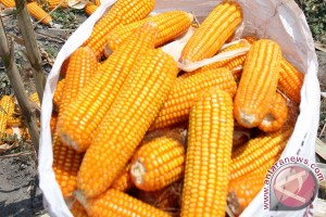 Harga tepung jagung di Venezuela meroket 900 Persen
